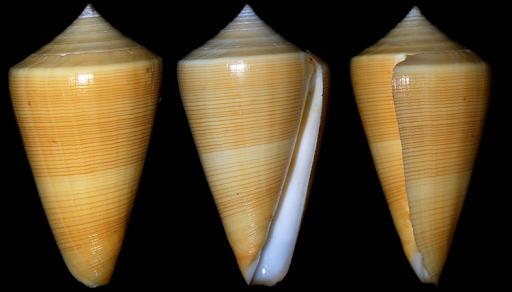 Кто бывал на море помнит эти прекрасные ракушки, создающие шум прибоя.