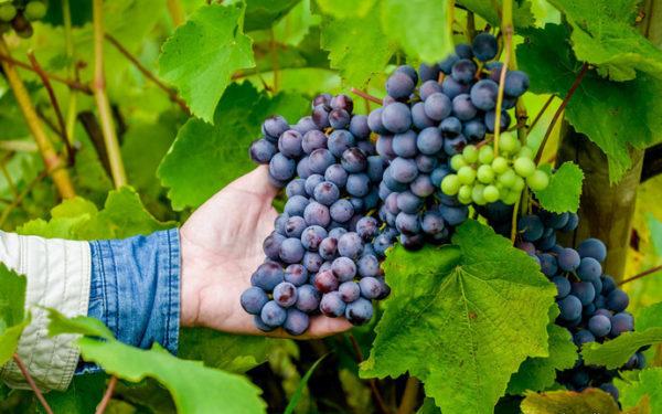 Плодоовощеводство и виноградар