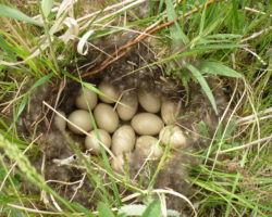 Гнездо дикой утки