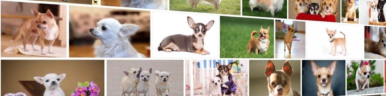 Популярный маленький пес