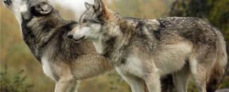 Сонник: к чему снятся волки