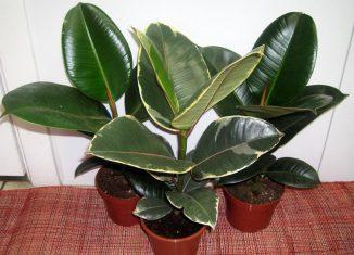 Семейные комнатные растения