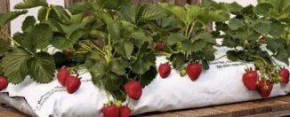 Выращивания и уход круглогодичной клубники
