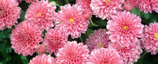 Сад и огород: как правильно выращивать хризантемы