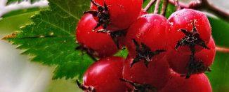 Продукты для здоровья: боярышник, польза и вред