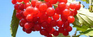Продукты для здоровья: калина, польза и вред