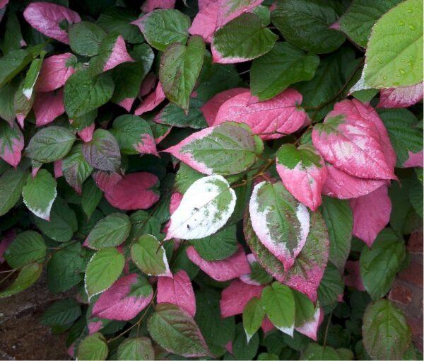 Актинидия коломикта в саду, и почему белеют кончики листьев: что это