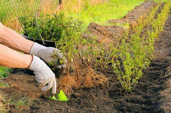 Скумпия Грейс, посадка и уход в дизайне сада: почему не цветет, какая морозостойкость