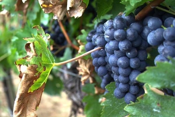 Укоренение винограда зелеными черенками летом: как размножить в июне