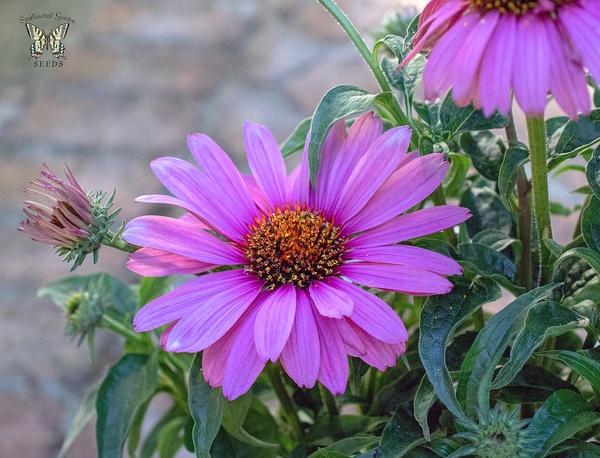 Эхинацея, её выращивание, уход в саду и на клумбе: надо ли укрывать на зиму, фото