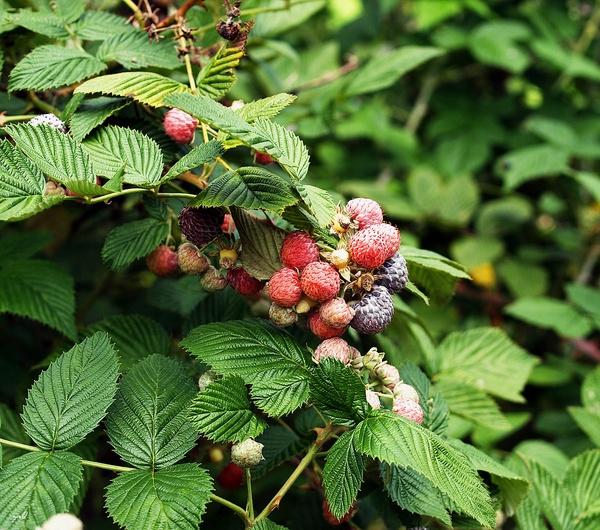 Обрезка кустов смородины, малины и крыжовника осенью: когда делать