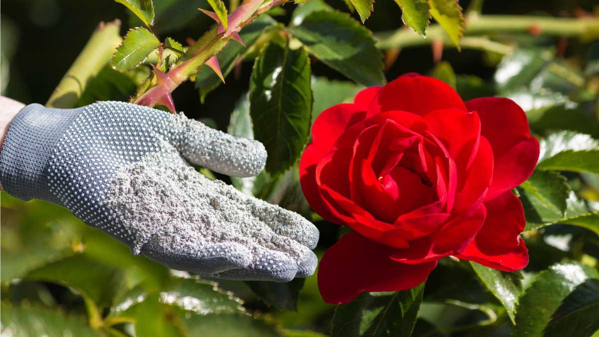 """Удобрения и подкормки для роз весной: """"Шикарная роза"""", водка и куриный помет"""