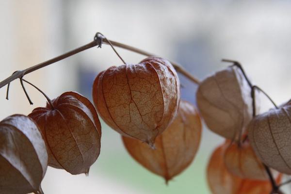 Физалис на грядке и как рассада: стоит ли сажать с помидорами