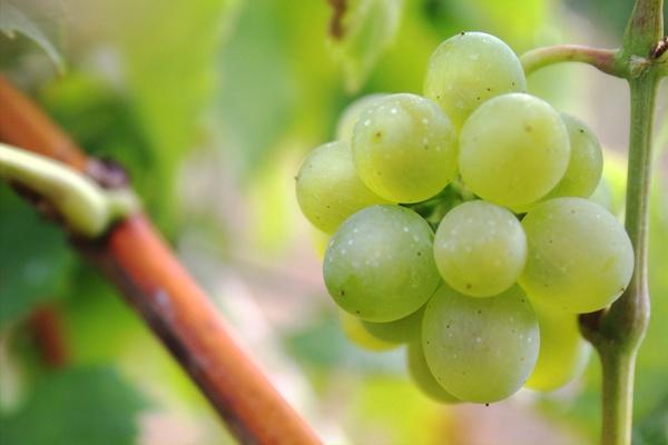 Система защиты винограда от вредителей и болезней: чем обрабатывать на зиму