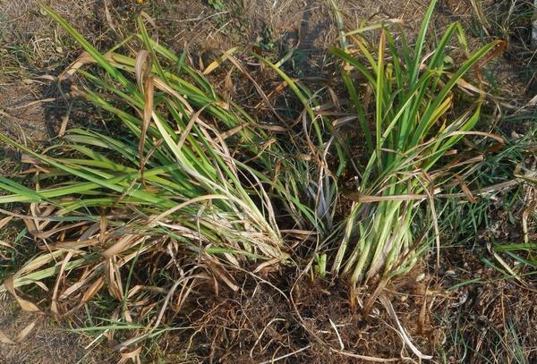 Размножение лилейников делением куста весной: как сделать в домашних условиях