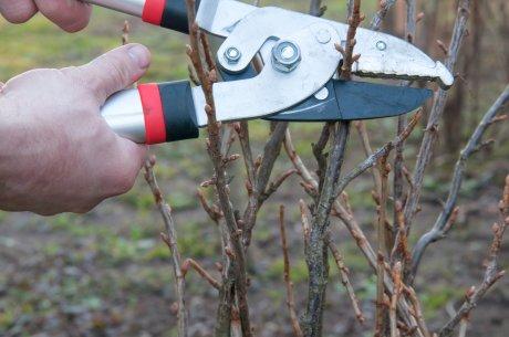 Смородина при посадке и нужно ли её обрезать: как сформировать куст