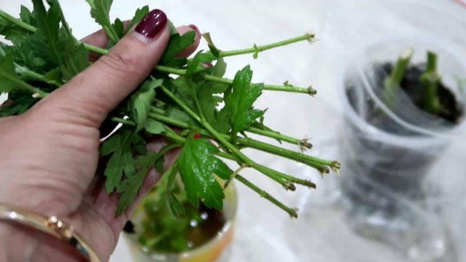 Размножение корневыми черенками: как сделать, примеры растений