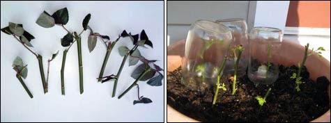 Зимовка укорененных черенков роз: как закрыть и когда снимать пластиковые бутылки