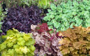 Как растет Гейхера Паприка и другие виды растения 2